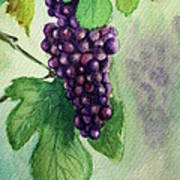 Grapes On The Vine Art Print by Prashant Shah