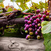 Grapes On The Vine Art Print