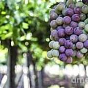 Grapes On Vine 2 Art Print