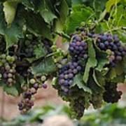 Grapes On Vine Art Print