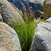 Grasses In Oasis On Borrego Palm Canyon Trail In Anza-borrego Desert Sp-ca Art Print