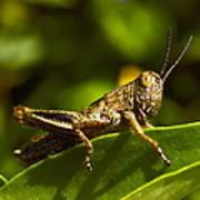 Grasshopper Macro Art Print