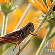 Grasshopper On Coneflower Stem Art Print