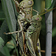 Grasshoppers In Love Art Print