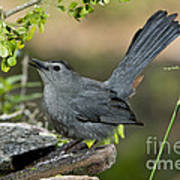 Gray Catbird Drinking Art Print