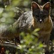 Gray Fox In The Woods Art Print