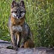 Gray Fox Posing Art Print