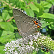 Gray Hairstreak Butterfly - Strymon Melinus Art Print