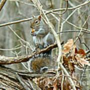 Gray Squirrel - Sciurus Carolinensis Art Print