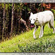 Gray Wolf 2 Art Print