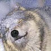 Gray Wolf Canis Lupus Shaking Snow Off Art Print