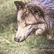 Gray Wolf Grey Wolf Canis Lupus Art Print