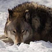 Gray Wolf In Snow Art Print