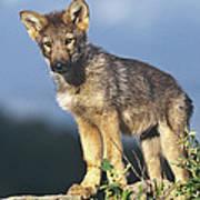Gray Wolf Pup Montana Art Print