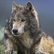 Gray Wolf Resting North America Art Print