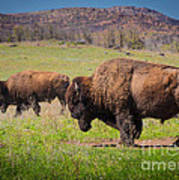 Grazing Bison Art Print