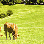 Grazing Cows Art Print