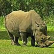 Grazing Rhino Art Print