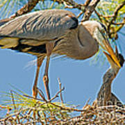 Great Blue Heron Adult Feeding Nestling Art Print by Millard H. Sharp