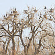 Great Blue Heron Colony Art Print