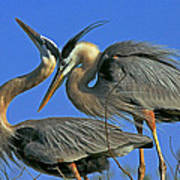 Great Blue Heron Courting Pair Art Print