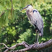 Great Blue Heron I Art Print