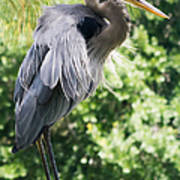 Great Blue Heron IIi Art Print