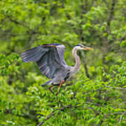 Great Blue Heron Landing Art Print