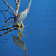 Tricolored Heron Art Print