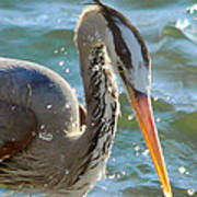 Great Blue Heron Splish Splash Art Print