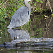 Great Blue Heron Standing In Water Art Print