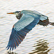 Great Blue Heron Taking Flight Art Print