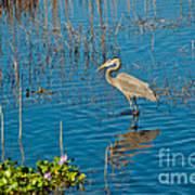 Great Blue Heron Wading Art Print