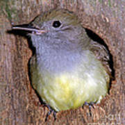 Great Crested Flycatcher In Nest Cavity Art Print