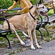 Great Dane Sitting On Park Bench Art Print