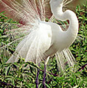 Great Egret Courtship Display Art Print