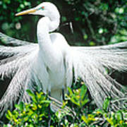 Great Egret Displaying Breeding Plumage Art Print