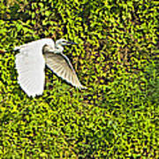 Great Egret Flying Over Rapti River In Chitwan Np-nepal Art Print