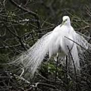 Great Egret In Tree Art Print