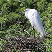 Great Egret Nest Art Print