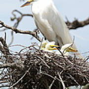 Great Egret Nest With Chicks And Mama Art Print