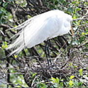 Great Egret On Nest Art Print