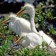 Great Egrets Art Print