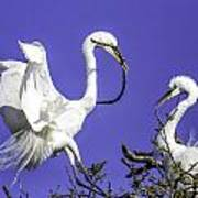 Great Egrets Nesting Art Print