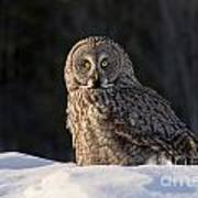 Great Gray Owl In Snow Art Print