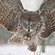 Great Gray Owl Pictures 634 Art Print