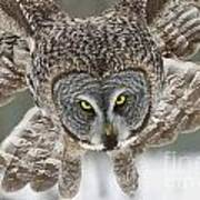 Great Gray Owl Pictures 648 Art Print