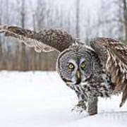 Great Gray Owl Pictures 658 Art Print