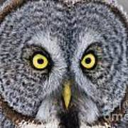 Great Gray Owl Pictures 680 Art Print