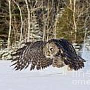Great Gray Owl Pictures 740 Art Print